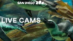 San Diego Zoo Cams
